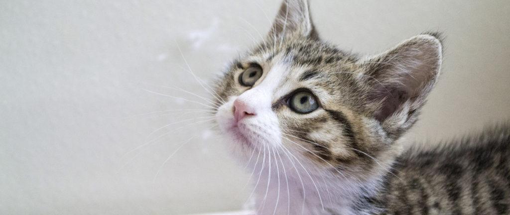 kitten adoption san diego adopt a kitten helen