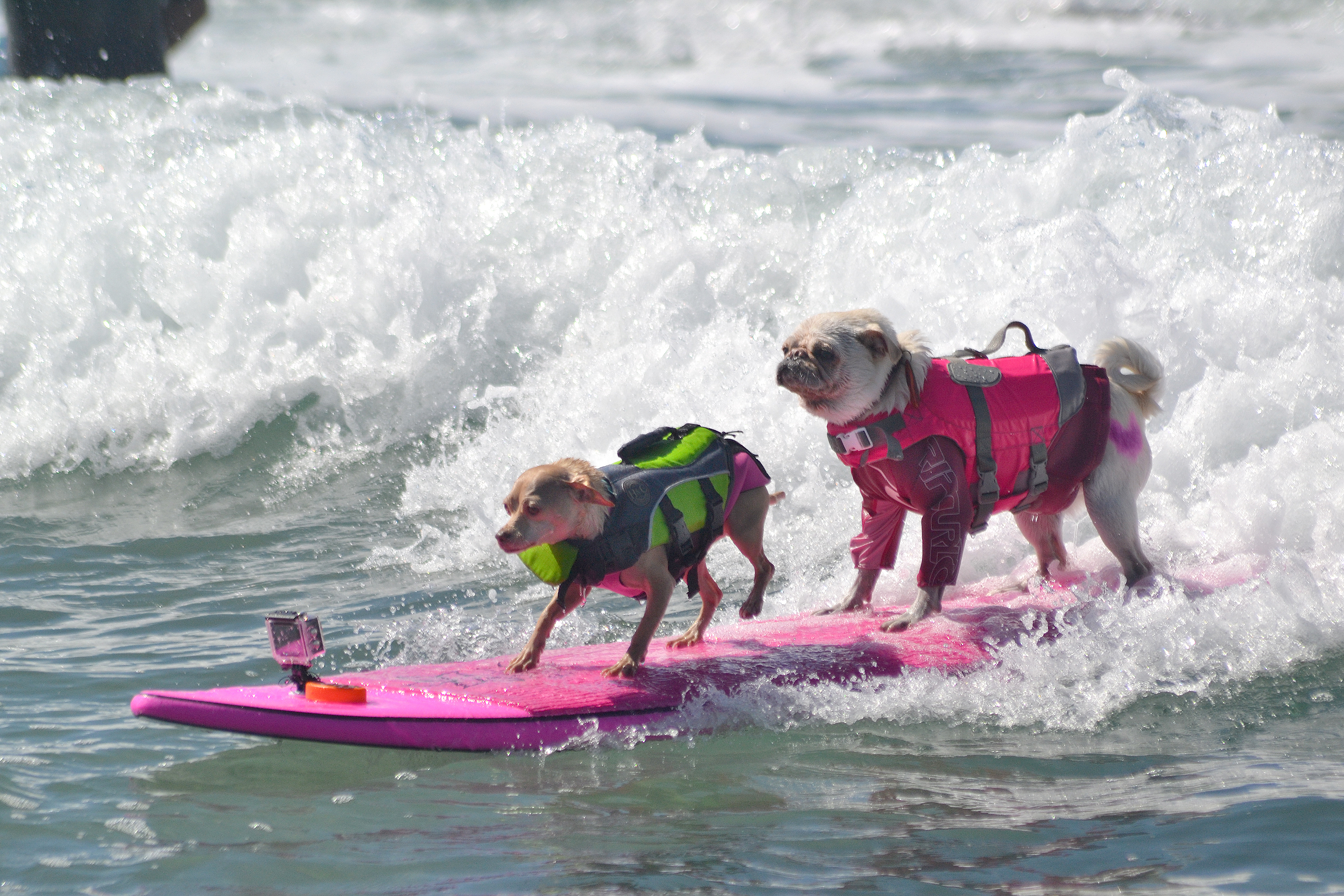 dog surfing competition san diego 2017 helen woodward