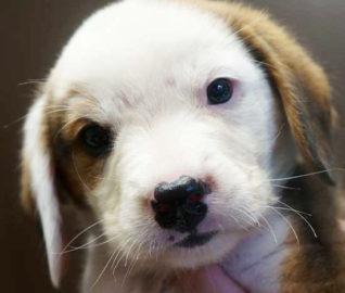 Smeagle the Beagle