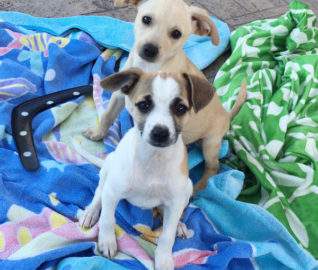 Jack Russell Blend Puppies Found in Sealed Box
