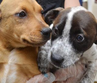 Australian Cattle Dog Puppies Go From Desert Dumpster to Forever Families
