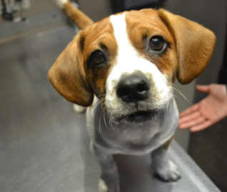 Beagle Puppy is One Lucky Penny