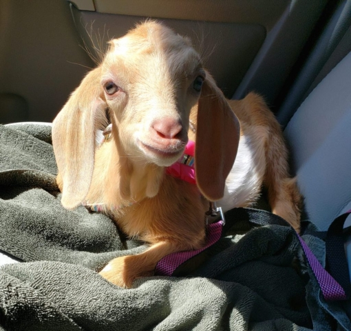 Courtesy: Millie Princess Goat on Facebook