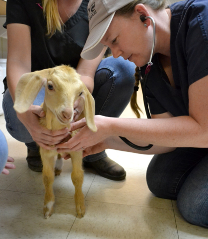 Millie the baby goat's first medical exam at Helen Woodward Animal Center