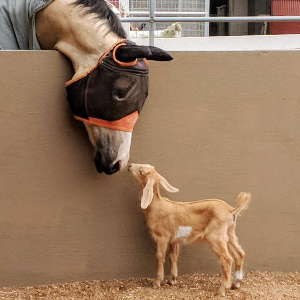 Millie the baby goat meets Dante the Therapeutic Riding horse at Helen Woodward Animal Center