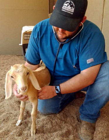 Millie the goat receives a check-up at Helen Woodward Animal Center's Equine Hospital.