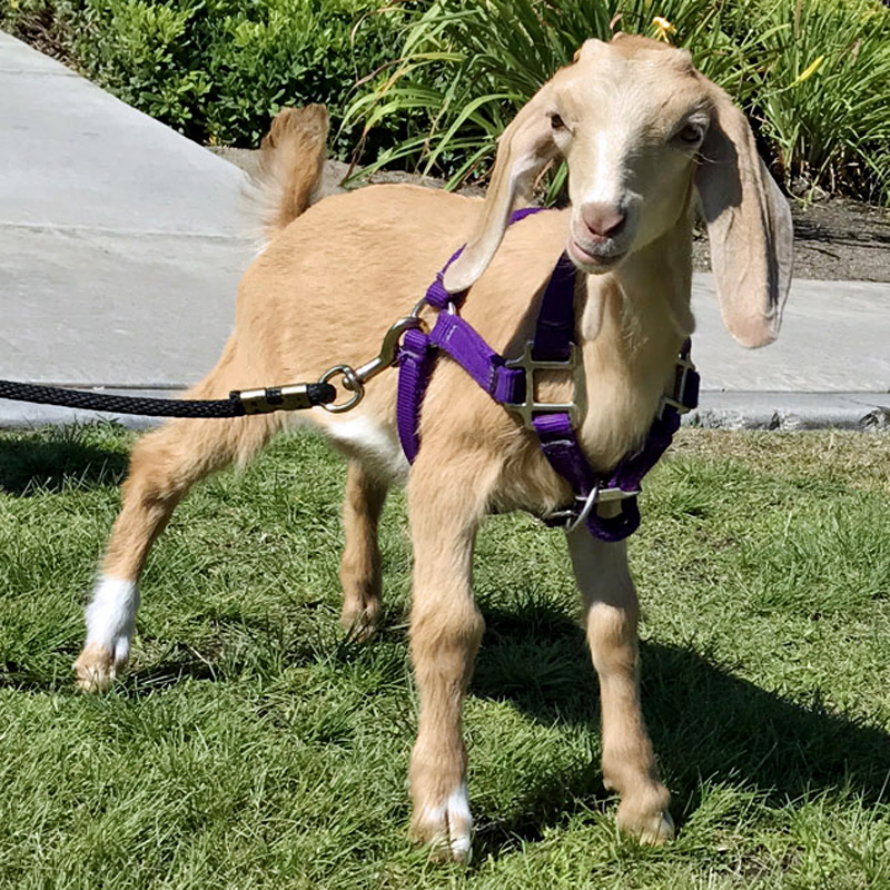 Millie the baby goat learns to walk with a leash and harness at Helen Woodward Animal Center