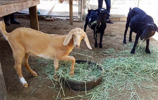 Goats Millie, Mildred and Lenny at Helen Woodward Animal Center