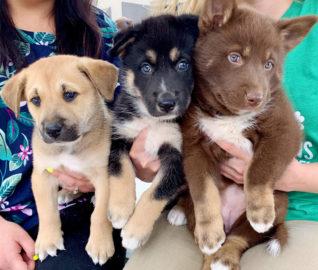 Husky Blend Puppies Seek Happy Ending Like Mom