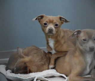 More Than 60 Chihuahuas Rescued from Hoarding Case in Bakersfield